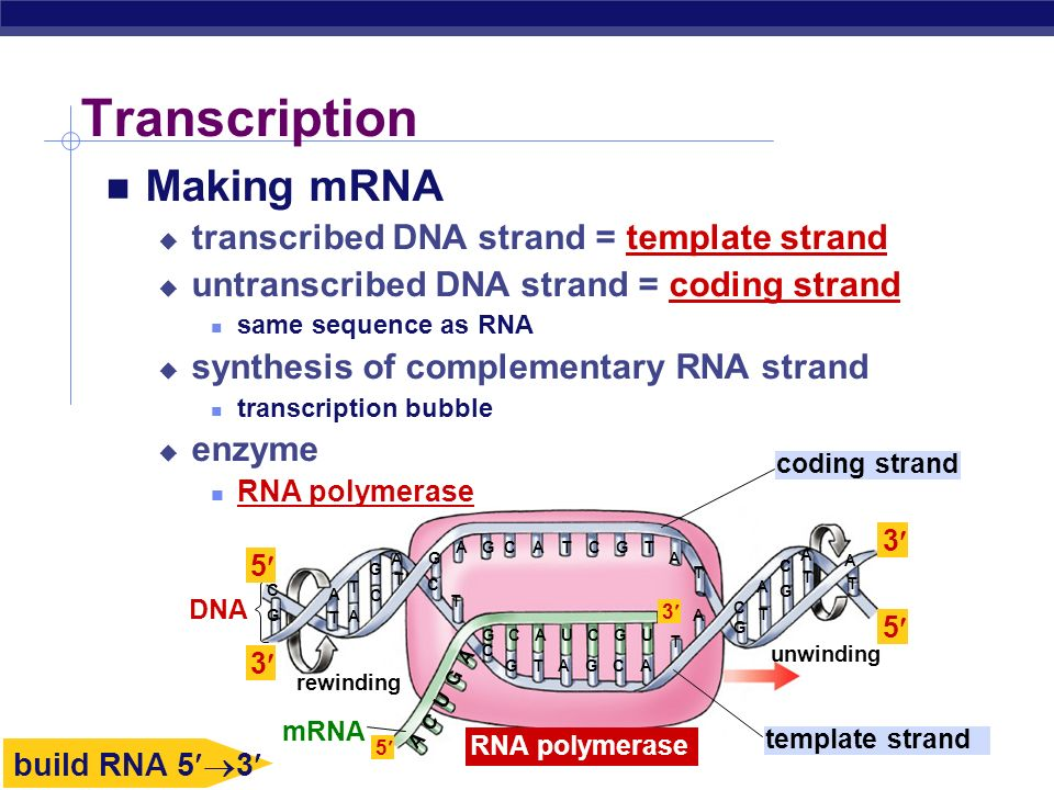 From gene to protein how genes work ppt download for What is a template in dna