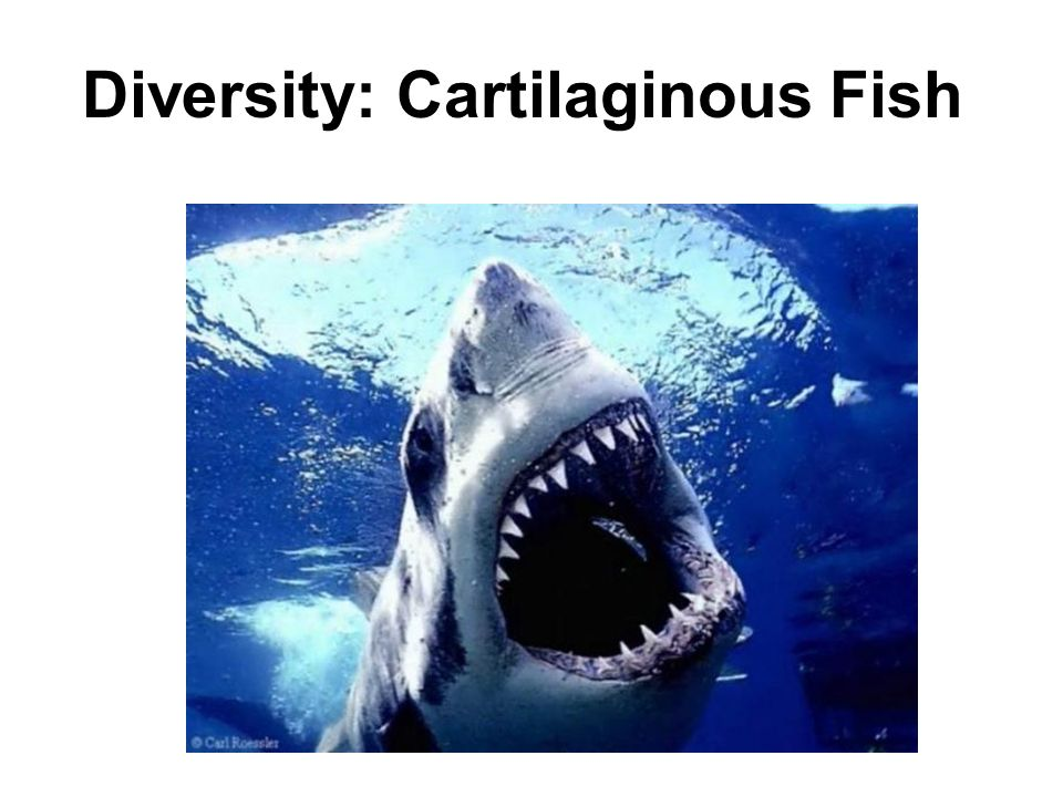 Wake up explain the difference between a vertebrate and for Cartilaginous fish examples