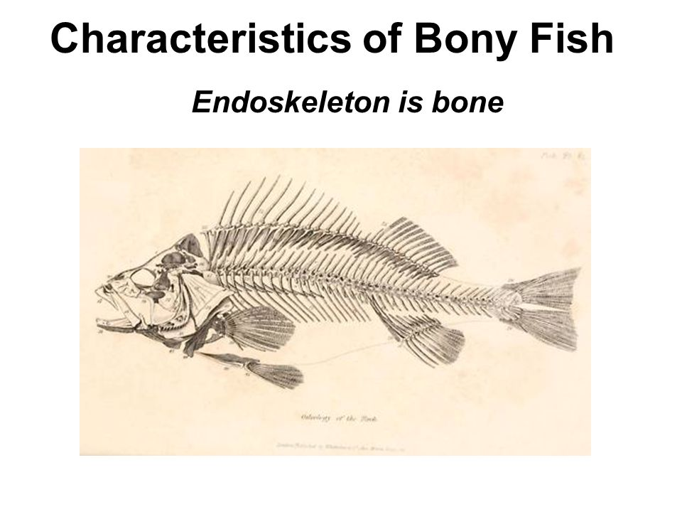 Wake up explain the difference between a vertebrate and for Bony fish characteristics