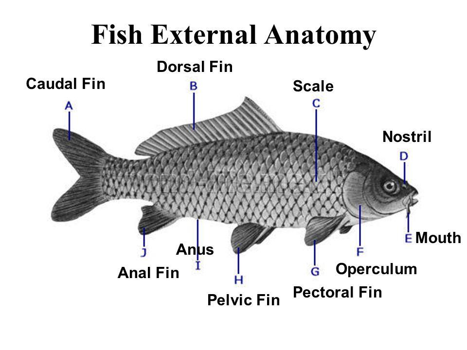 Flying Fish Anatomy 385948 Follow4morefo