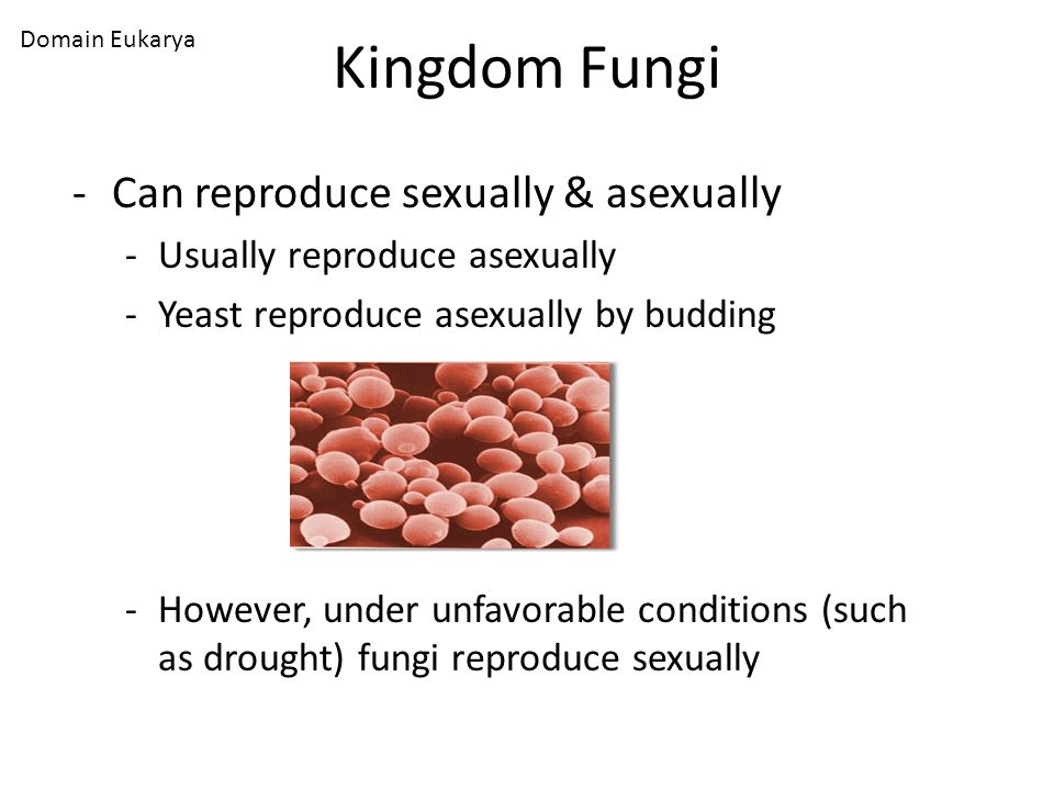 Kingdom Fungi Can reproduce sexually & asexually