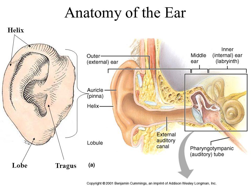 Attractive Ear Anatomy Tragus Adornment - Anatomy Ideas - yunoki.info
