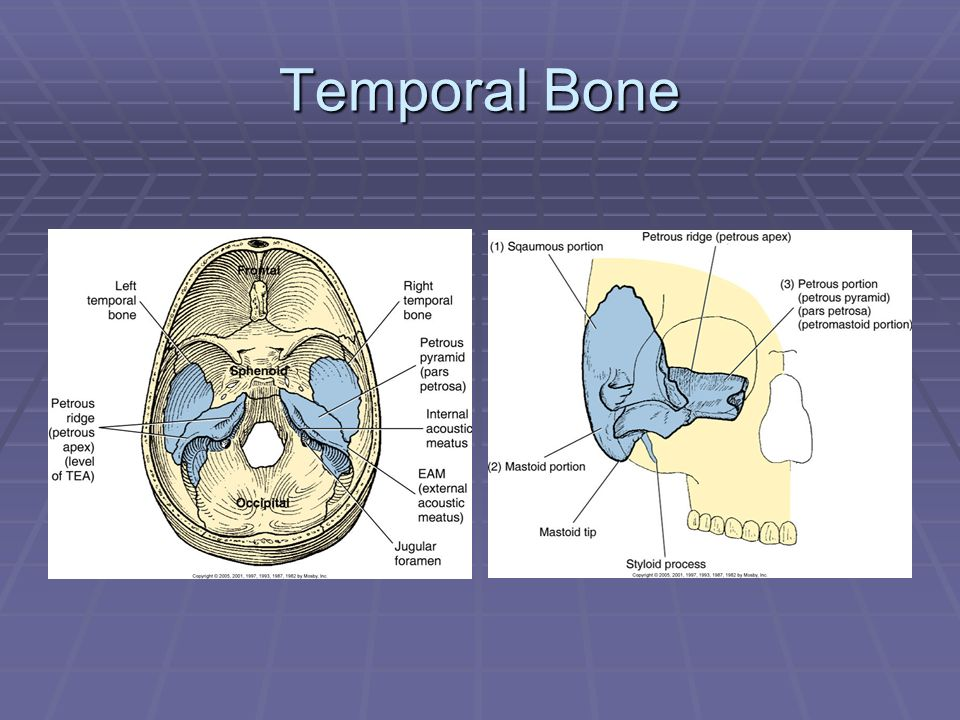 Mastoids and Organs of Hearing - ppt video online download