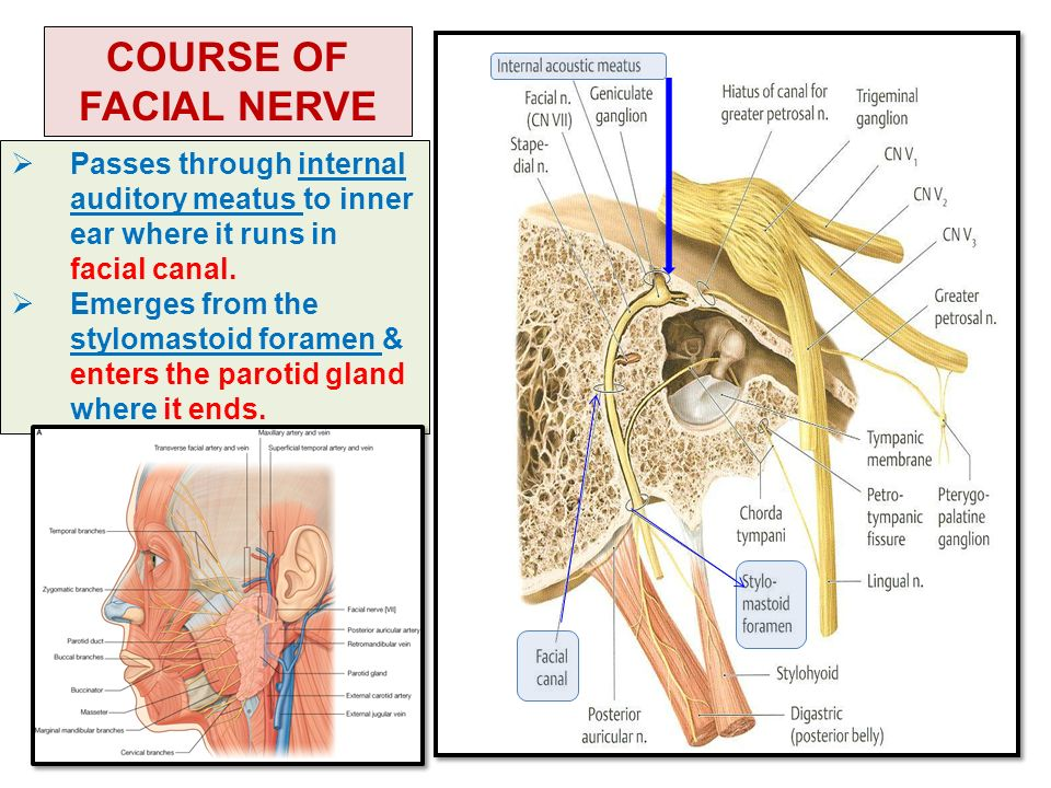 NERVE SUPPLY OF FACE 5TH & 7TH CRANIAL NERVES - ppt video ...