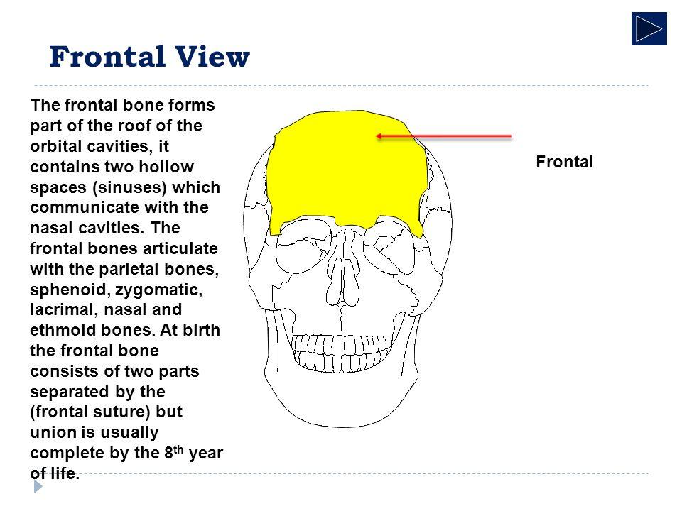 Radiographic Anatomy Skeletal System Skull. Radiographic Anatomy ...