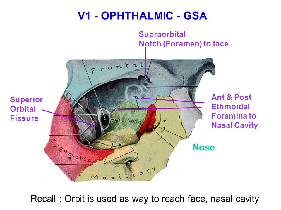 TRIGEMINAL NERVE - V V1 V1 – OPHTHALMIC -Sup. Orbital ...