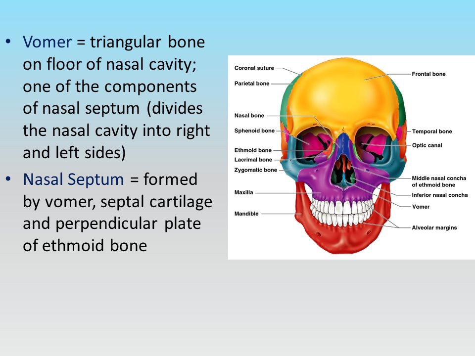 Axial skeleton includes 80 bones skull 22 bones hyoid for Floor of nasal cavity