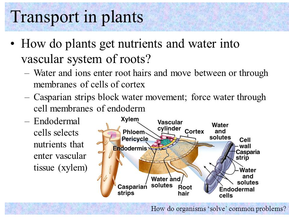 water movement in plants pdf