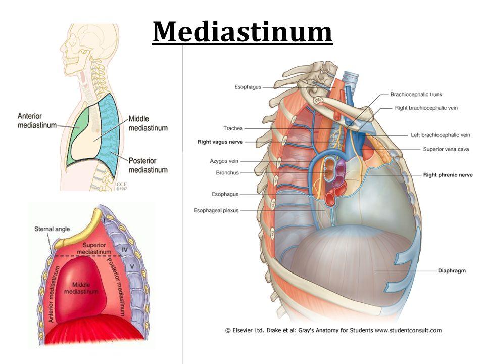 Mediastinum Ppt Video Online Download