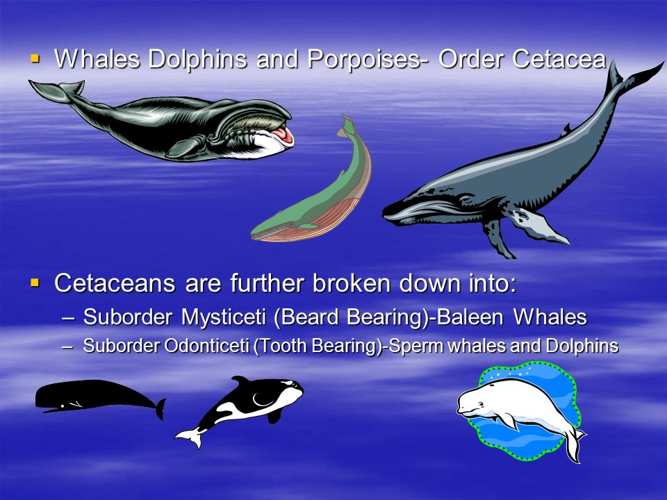 whales and dolphins The evolution of whales if you watch films of dolphins and other whales swimming, you'll notice that their tailfins aren't vertical like those of fishes.