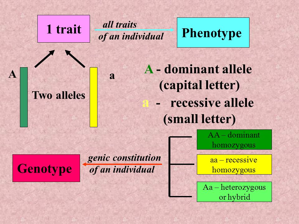 1 allele and dominant phenotype A dominant allele produces a dominant phenotype in individuals who have one copy of the allele, which can come from just one parent for a recessive allele to produce a recessive phenotype, the individual must have two copies, one from each parent.