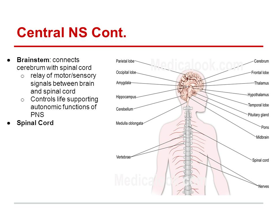 Central Nervous System Peripheral Nervous System - ppt ... Brainstem And Spinal Cord