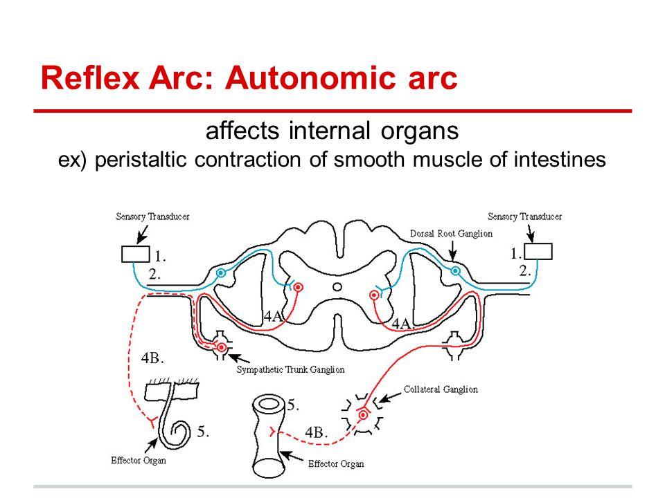 Central nervous system peripheral nervous system ppt video 8 reflex arc autonomic arc ccuart Gallery