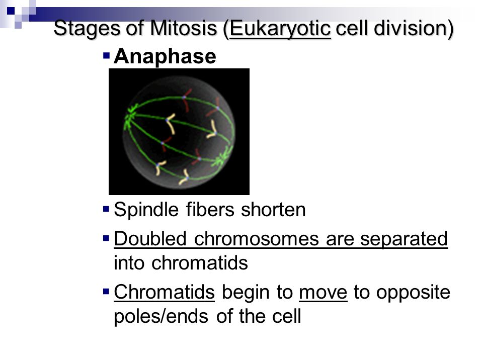 eukaryotic cell division Our mission is to understand cell division in eukaryotes at the molecular, cellular  and organism level: to determine how its dysfunction leads to.