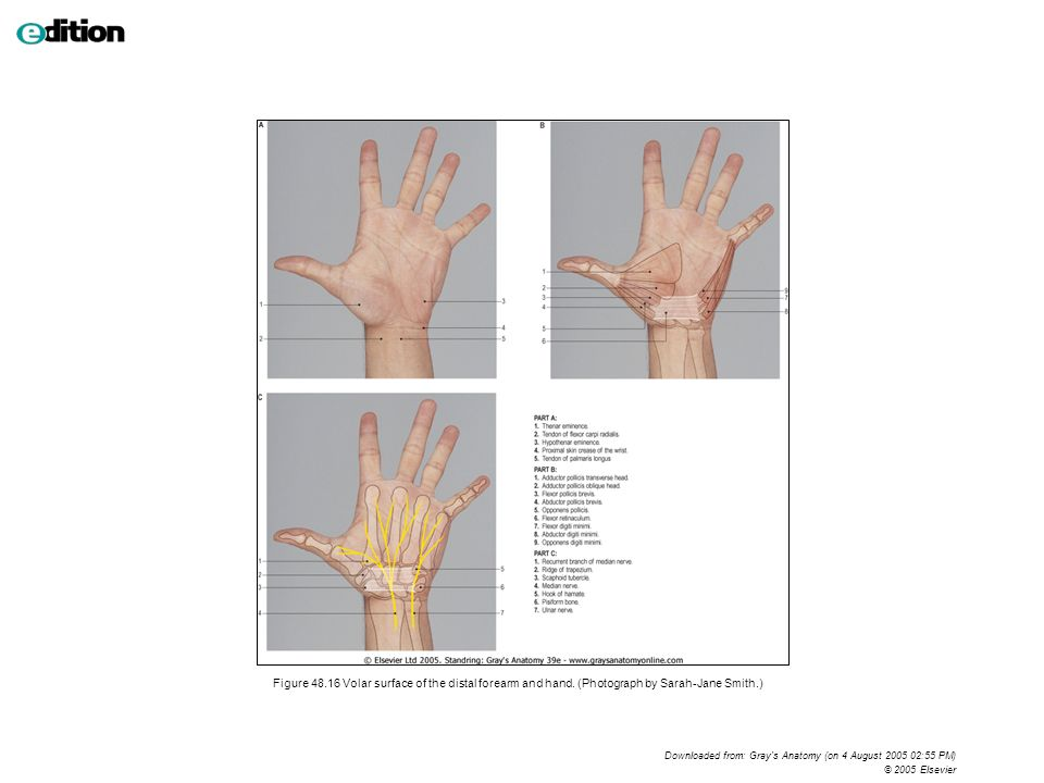 Fine Surface Anatomy Of Hand Mold - Anatomy And Physiology Biology ...