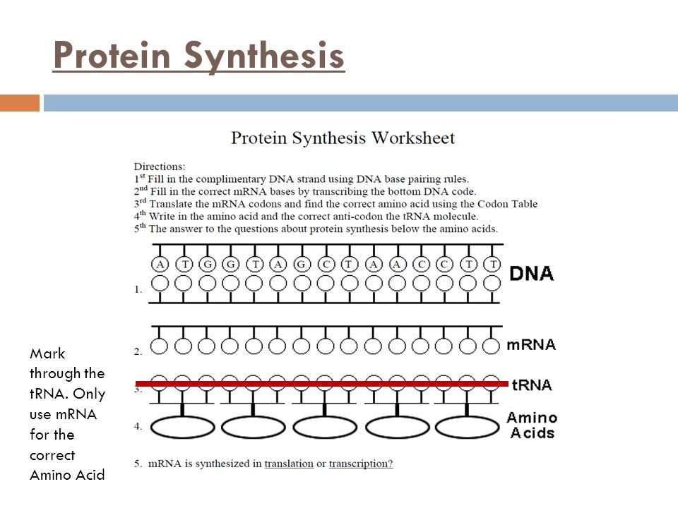 Protein Synthesis Worksheets Photos - Jplew