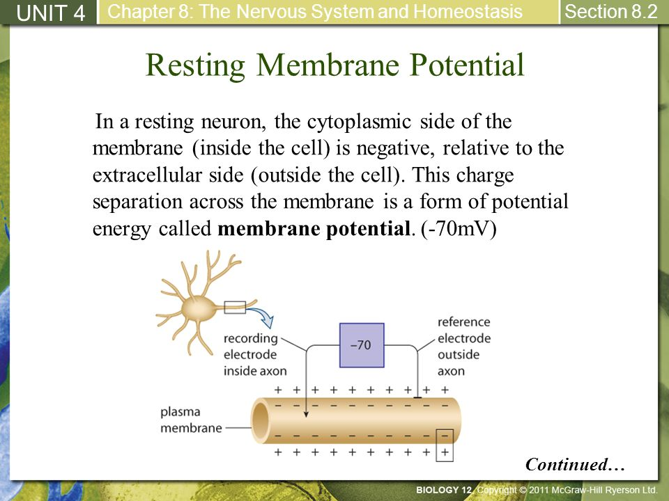 2 discuss the relative permeability of the membrane to na and to k in a resting neuron Because the membrane permeability for potassium is much causing the intracellular and extracellular concentrations of cl − to be reversed relative to k + and na.
