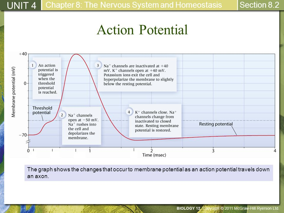 Action Potential UNIT 4 Chapter 8: The Nervous System and Homeostasis