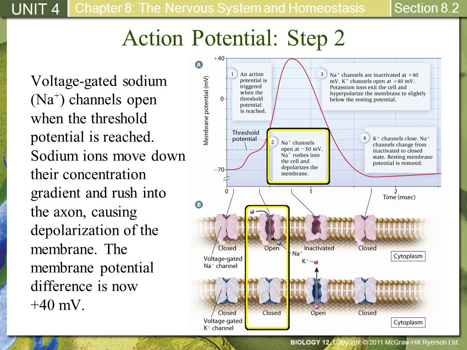 Action Potential: Step 2
