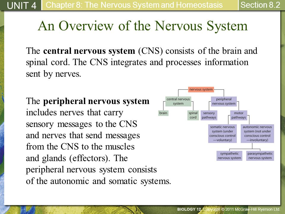 An Overview of the Nervous System
