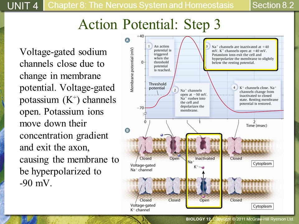 Action Potential: Step 3