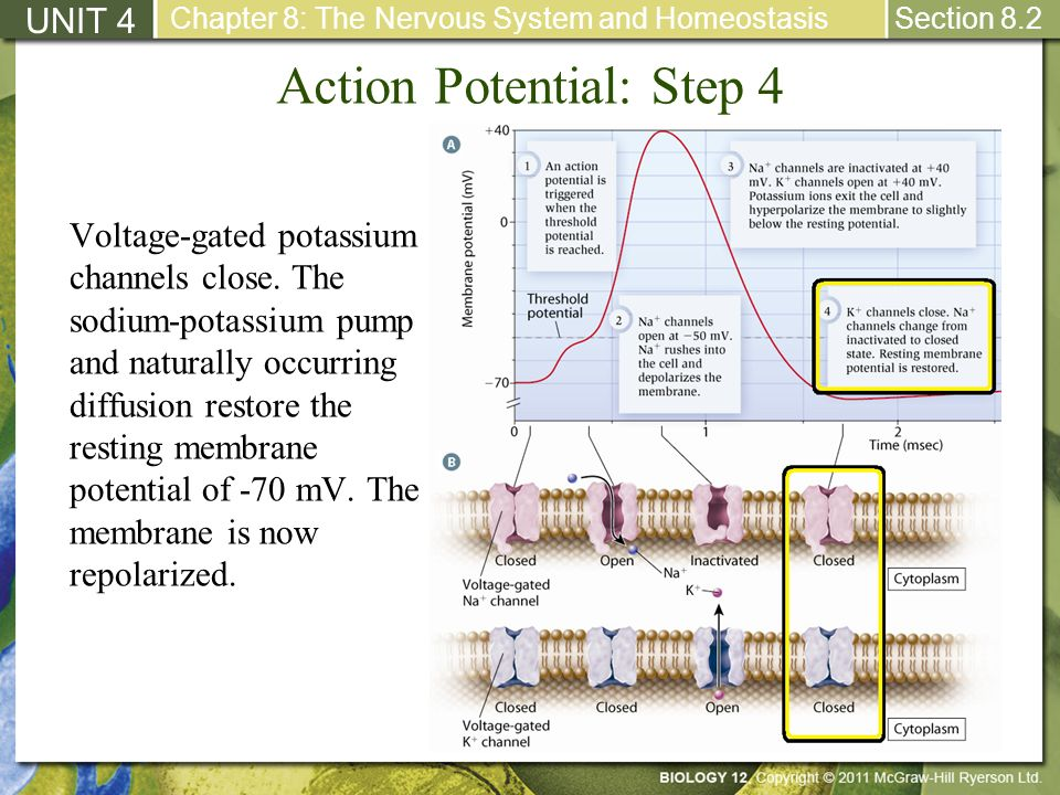 Action Potential: Step 4