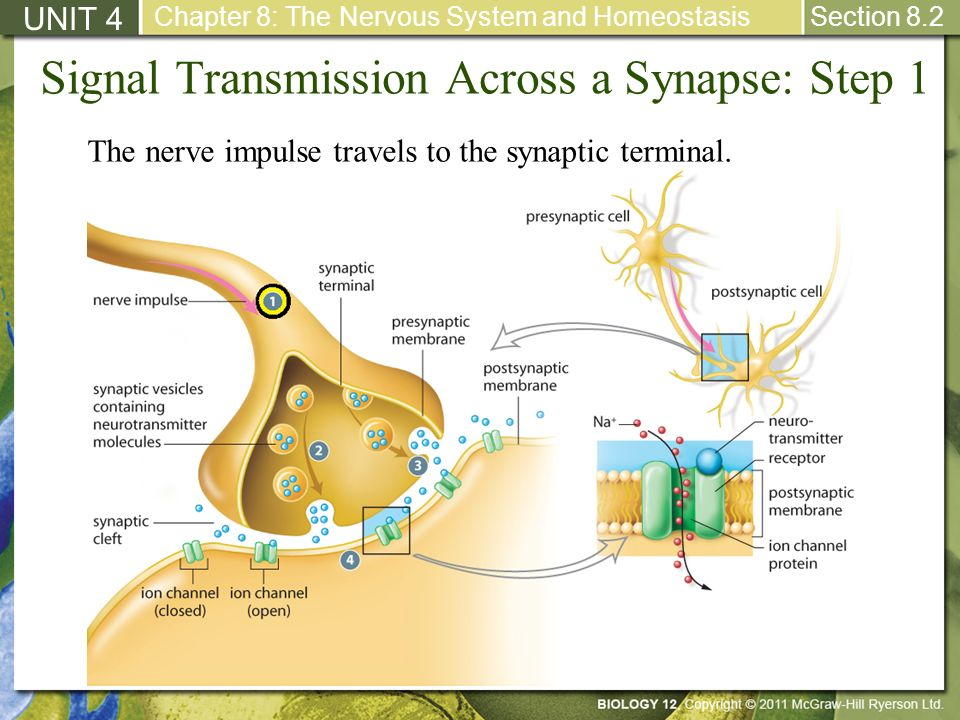 Signal Transmission Across a Synapse: Step 1