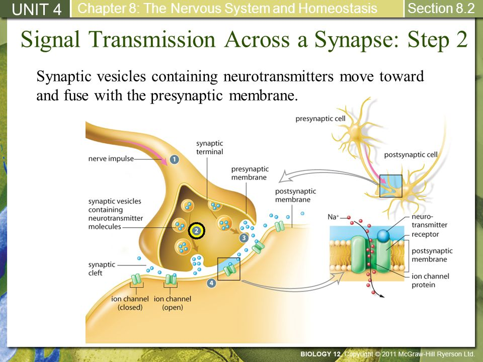 Signal Transmission Across a Synapse: Step 2