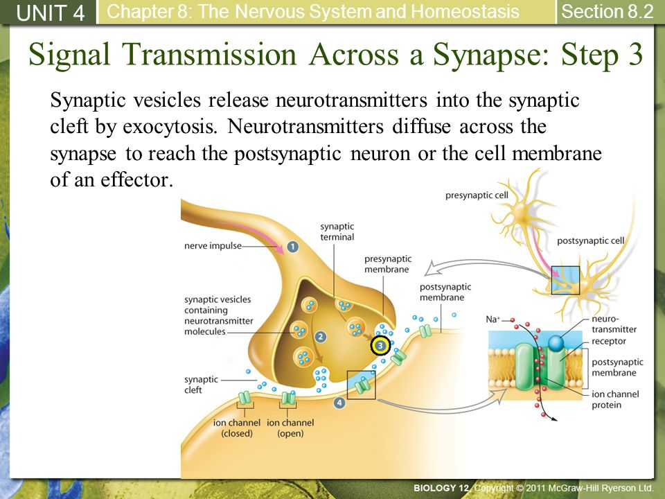 Signal Transmission Across a Synapse: Step 3