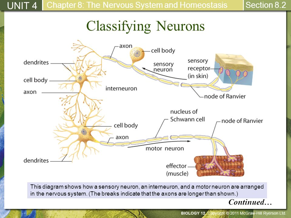 Classifying Neurons UNIT 4 Continued…