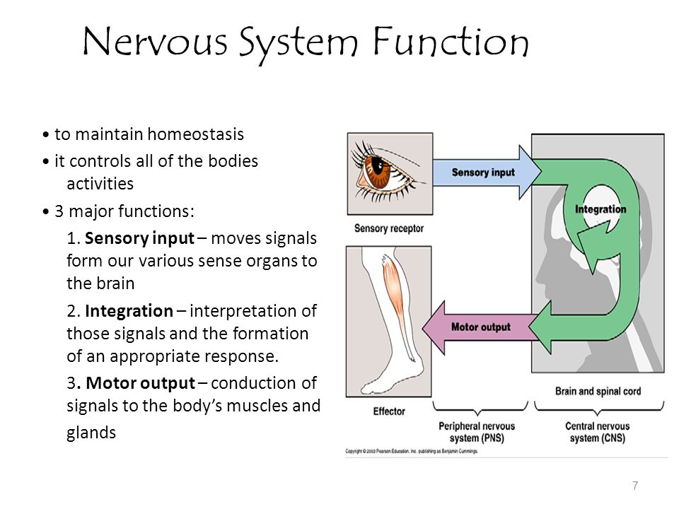 3 major functions involving your nervous system