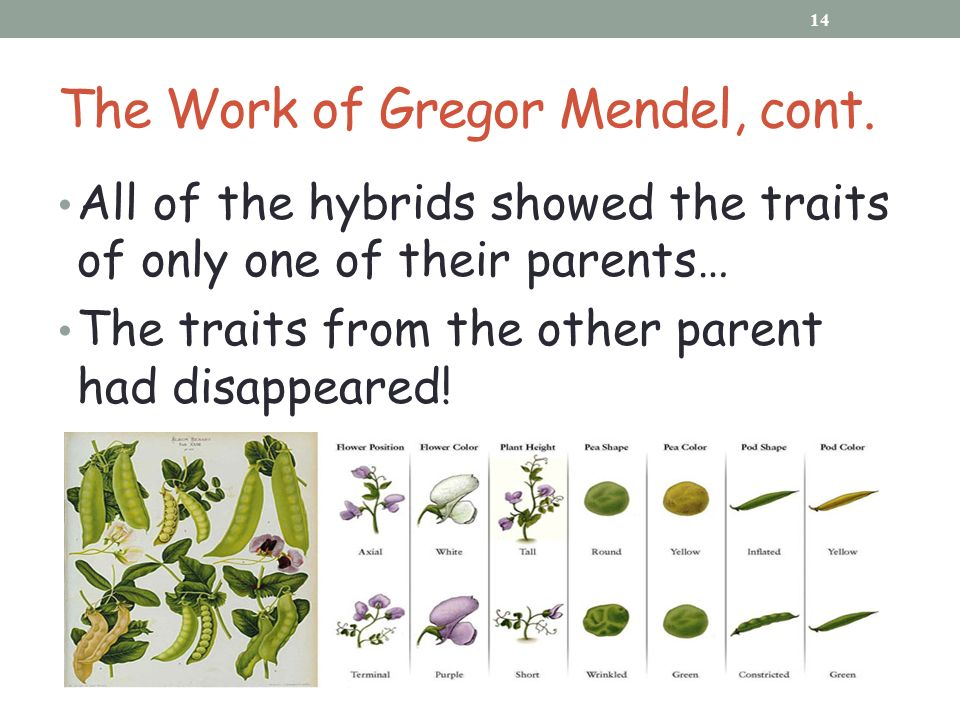 Why Is Gregor Mendel Important?