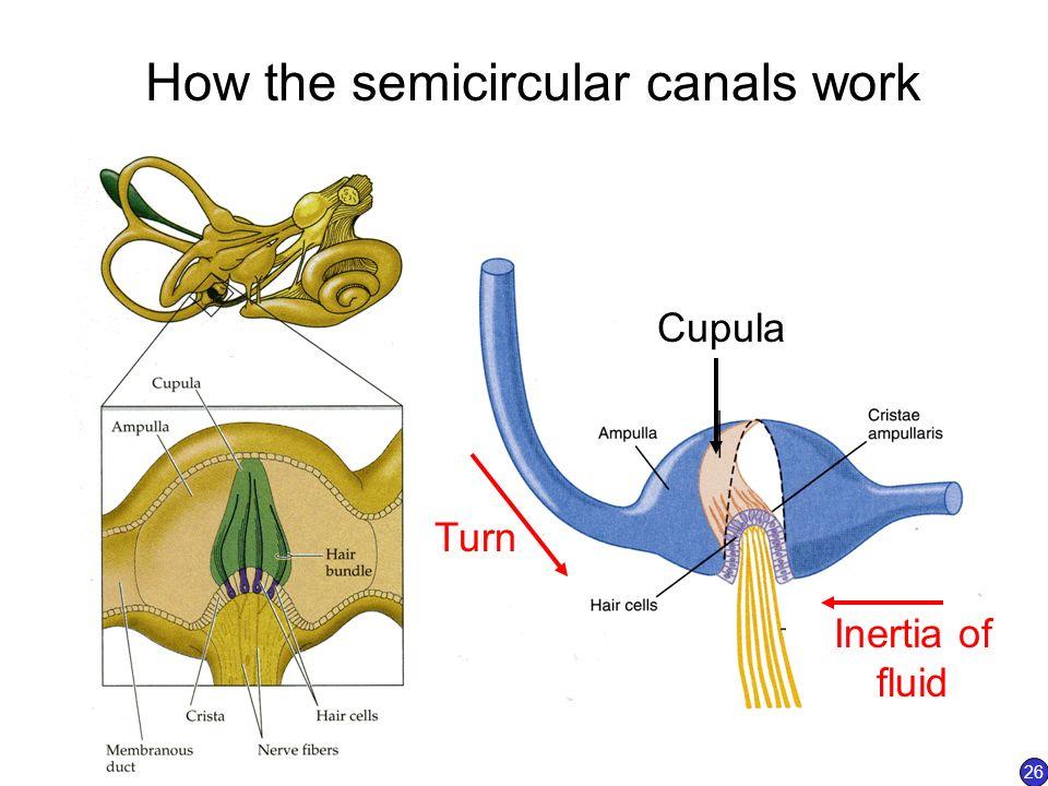 Semicircular Canals Ampulla | www.pixshark.com - Images ...