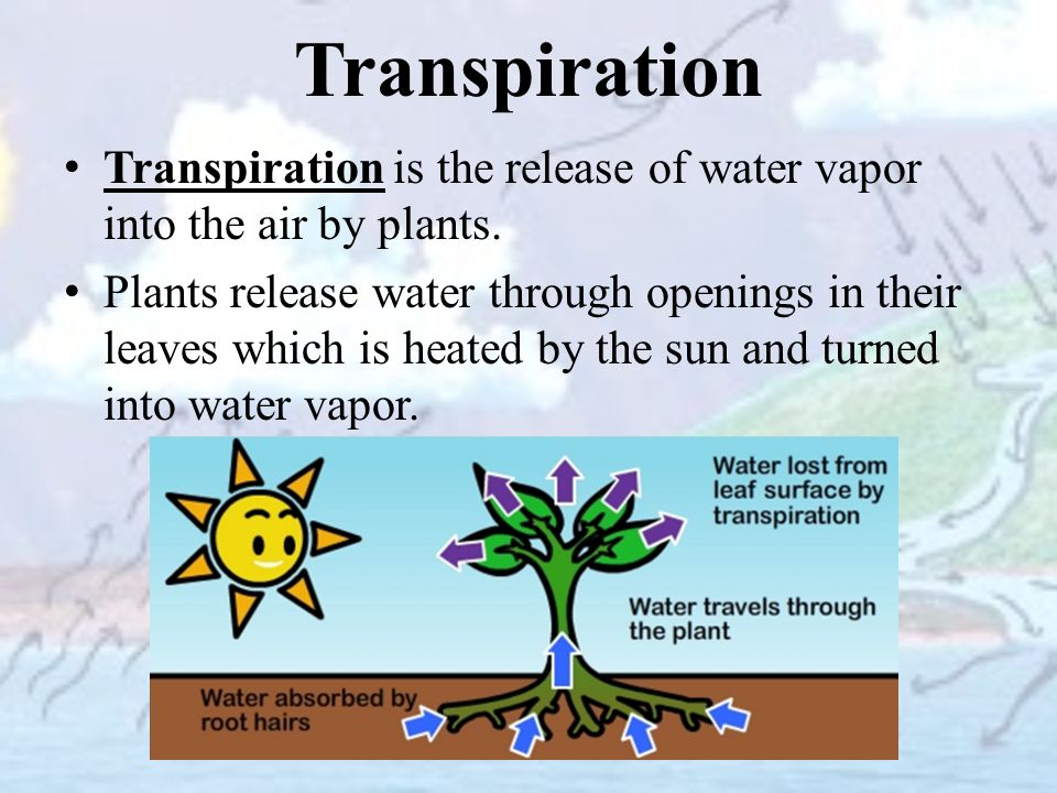 plants transpiration What is the difference between transpiration and translocation transpiration always occurs against the gravity translocation can occur in any direction.