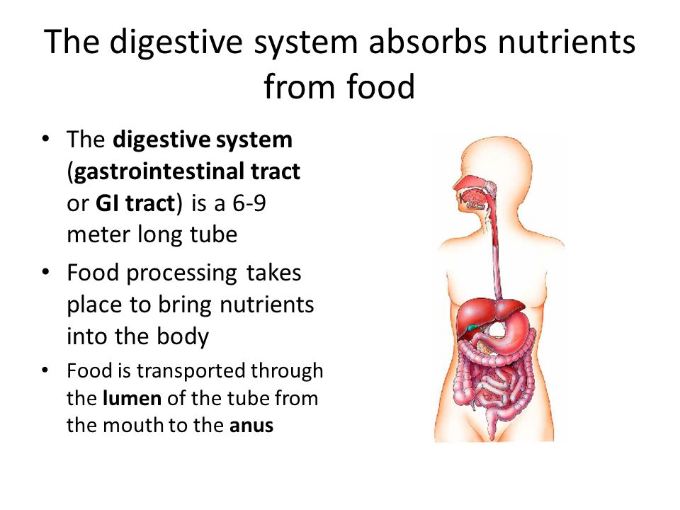 food through the digestive system essays