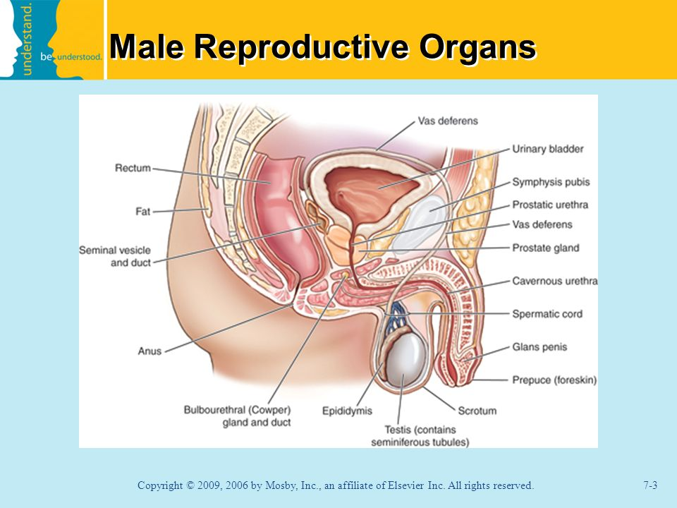 male reproductive system ppt