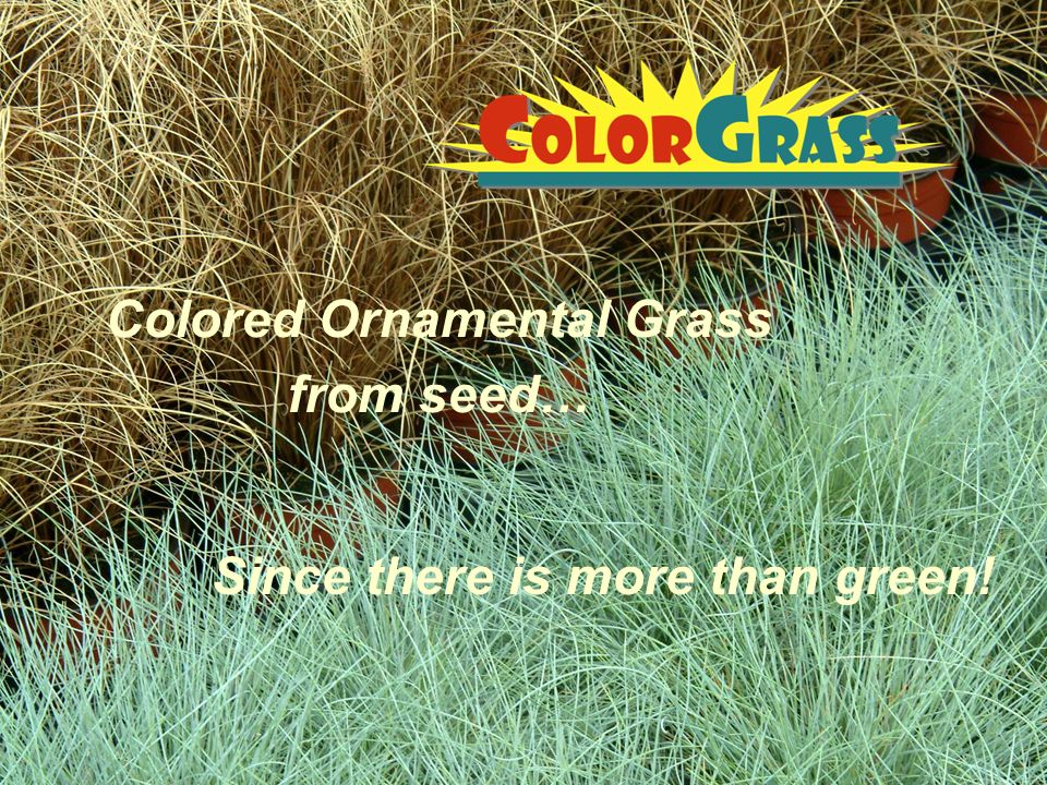 Colored ornamental grass from seed ppt video online for Coloured ornamental grasses