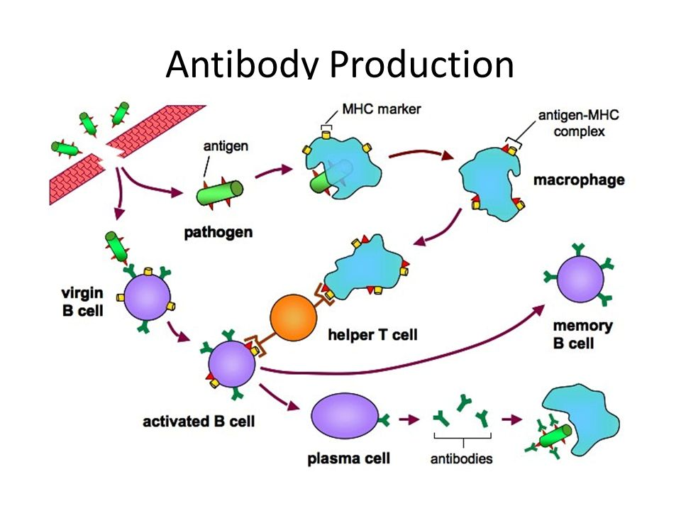 the use of mammalian cells in antibody production Mouse, the hybridoma cells multiply and produce fluid (ascites) in its abdomen this fluid contains a high in vitro production of monoclonal antibody.