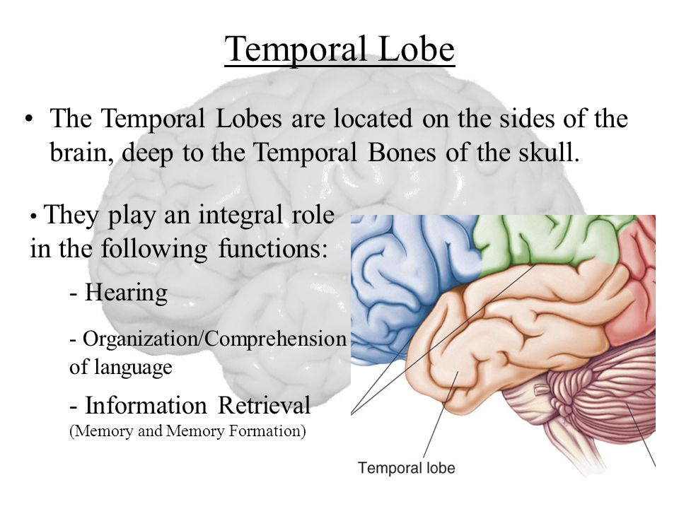 roles of the temporal and frontal Lobes of the brain and their associated functions print that curve forward from the occipital lobes to below the frontal that plays complementary roles.