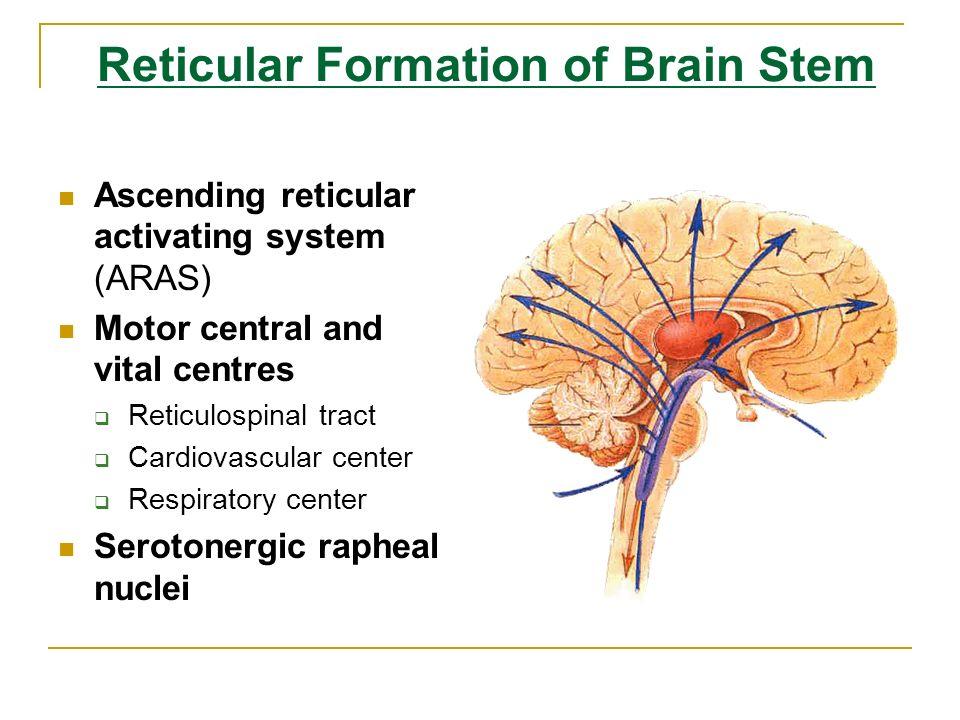 define reticular formation