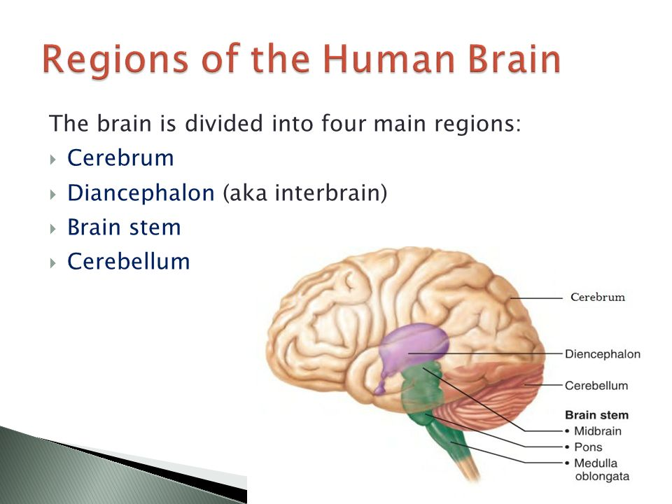the functions of the brain The brain stem is comprised of the midbrain, pons, and medulla the midbrain is often considered the smallest region of the brain it acts as a sort of relay station for auditory and visual information the midbrain controls many important functions such as the visual and auditory systems as well as eye movement.