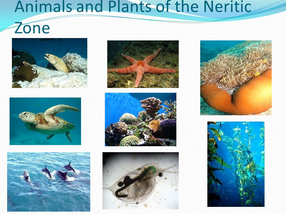Animals and Plants of the Neritic Zone