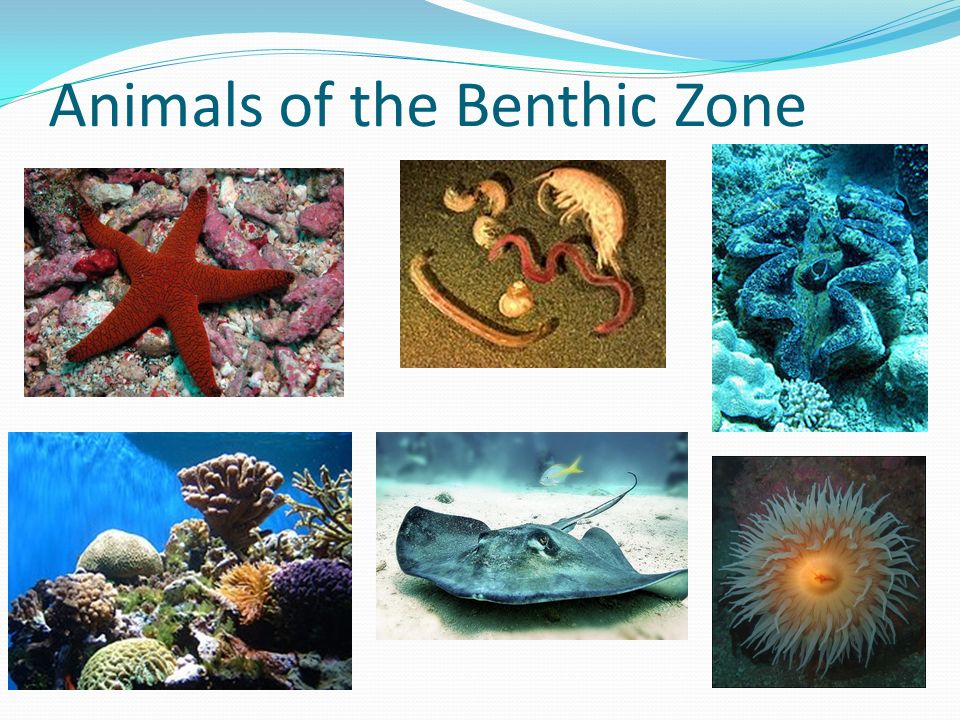 Animals of the Benthic Zone