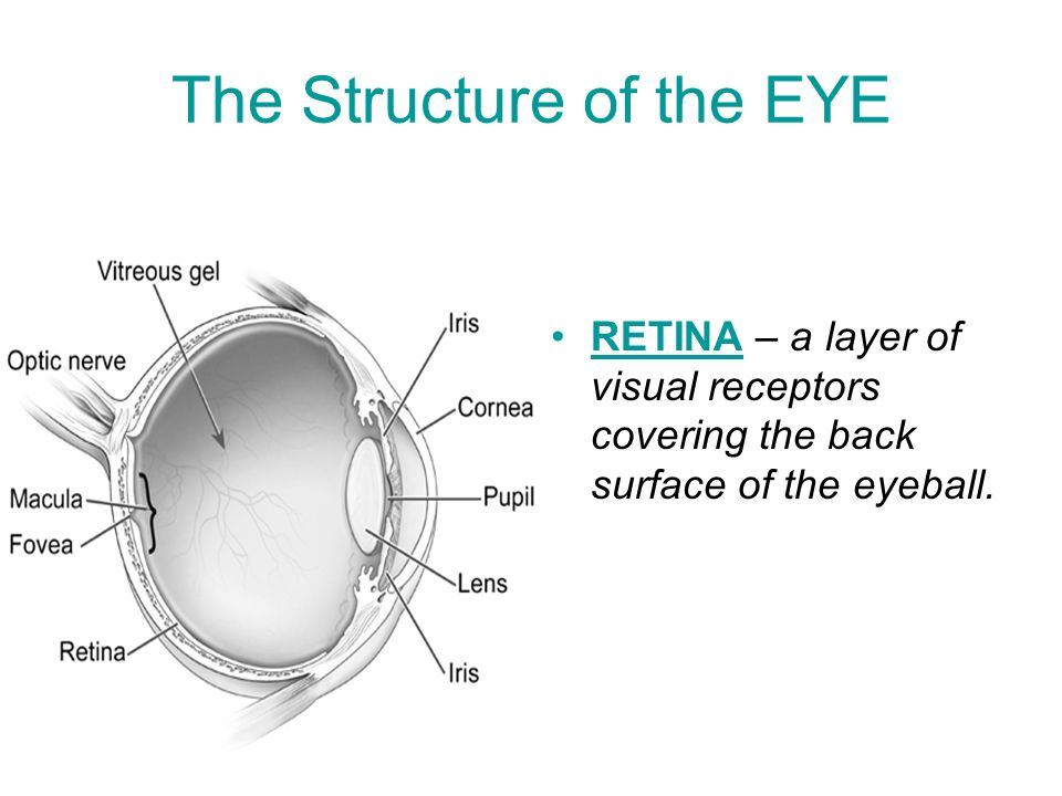 on the surface of the eye is a transparent flexible covering called the cornea How earthquakes can be better predicted 9) on the surface of the eye is a transparent, flexible covering called the cornea this structure would best be classified as a a cell b organ c tissue d organ system e organelle 8) your thoughts arise from signals that zip around through a network of nerve cells in your brain.