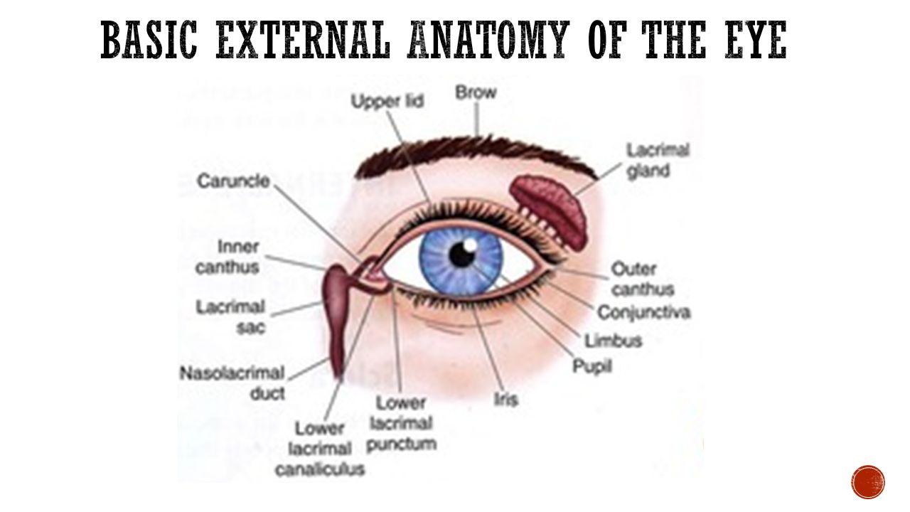 Gemtlich Anatomy And Physiology Of The Human Eye Galerie Anatomie