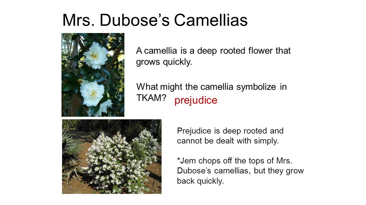 Flower symbolism tkam ppt video online download 4 mrs duboses camellias biocorpaavc Choice Image