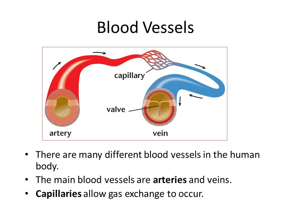 the main blood vessels are the Major blood vessels of the body blood vessels transporting deoxygenated blood from the heart to the right atrium carotid arteries take oxygenated blood to head.