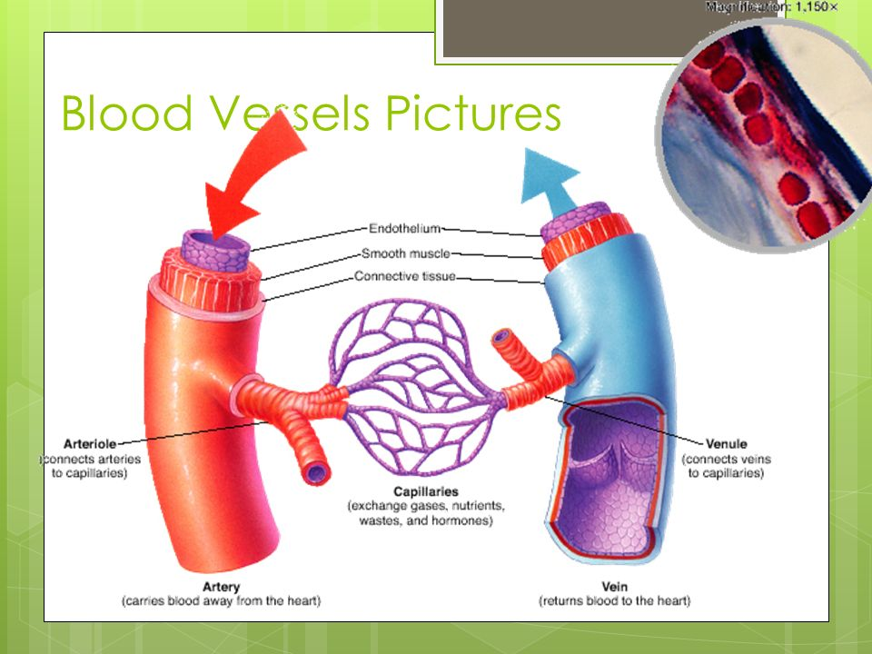Anatomy of blood vessels review sheet 32 714899 - follow4more.info