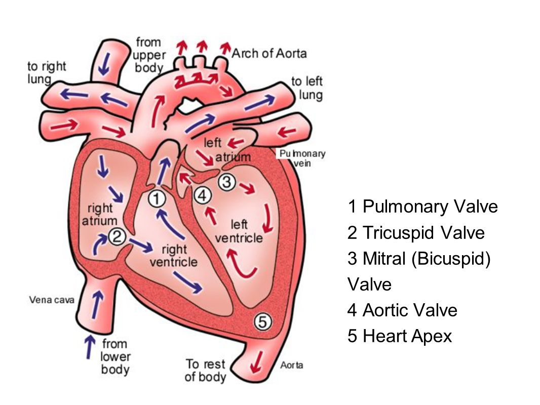 Where is mitral bicuspid valve located in the heart?