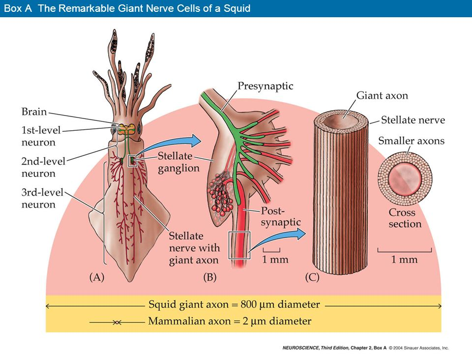 Box A The Remarkable Giant Nerve Cells of a Squid - ppt video online ...